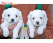 Maltézske šteniatka hľadajú nový domov.