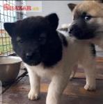 Krásne šteniatka Akity pripravené do nového do