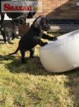 Na predaj šteniatka AKC nemeckej dogy