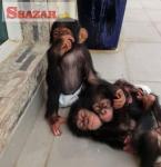 Lovely Chimpanzee Monkeys for Sale