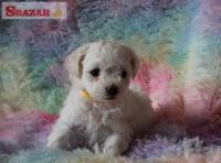 Bichona krásne šteniatka  na predaj