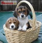 7 Krásnych šteniatok Beagle registrovaných v Kc