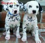 Dalmatínske šteniatka registrované v Kc