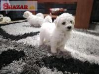 Nádherné maltézske šteniatka