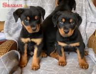 očarujúce šteniatka rotvajlera a samice