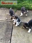 Šteniatka Beagle k dispozícii.
