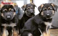 Na predaj šteniatka nemeckého ovčiaka