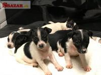 Na predaj krásne šteniatka Jack Russell
