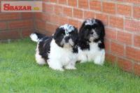 Rozkošné šteňatá Shih Tzu na predaj