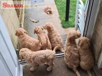 Rozkošné šteňatá labradoodlov pripravené