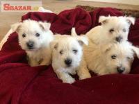 Šteniatka West Highland Terrier sú pripravené