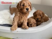 K dispozícii sú sladké šteňatá Cavapoo