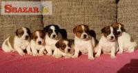 Krásne šteniatka Jacka Russella teriéra