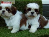 Sladké psíky a sučky šteniatka Shih Tzu