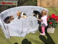 Beagle Puppies Available.