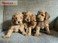 Healthy Cavapoo puppies Available.