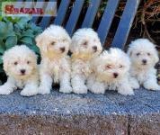 krásne Bichon Frise šteniatka na predaj