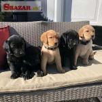 Entzückende Labrador-Welpen