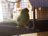 Kakárik červenočelý