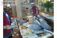 papagáj jaco