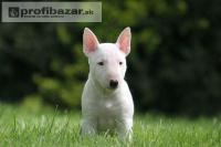 Prodám Krásná Mini Bull Teriér štěňata